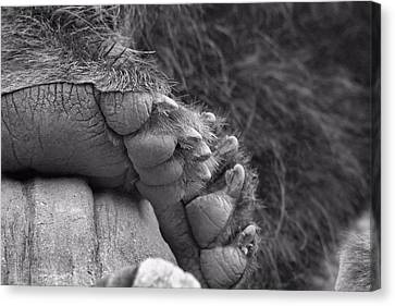 Grizzly Bear Paw Black And White Canvas Print by Dan Sproul