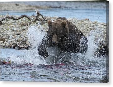 Brown Bear Pouncing On Salmon Canvas Print by Dan Friend