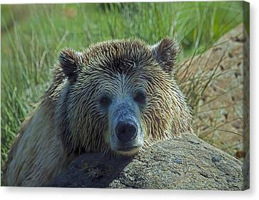 Grizzly Bear Resting Canvas Print by Garry Gay