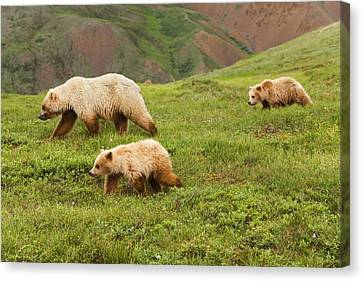 Grizzly Bear Sow And Two Cubs On Tundra Canvas Print by Michael DeYoung