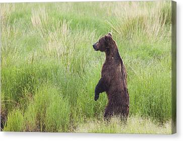 Grizzly Bear Ursus Arctos Standing Canvas Print by Lucas Payne