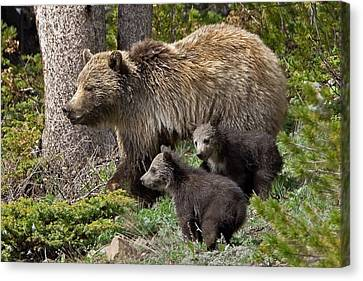 Grizzly Bear With Cubs Canvas Print
