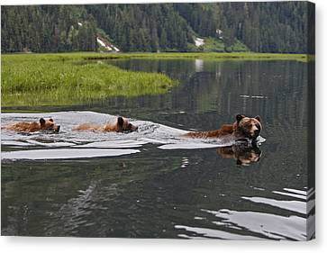 Grizzly Bears Swimming Canvas Print