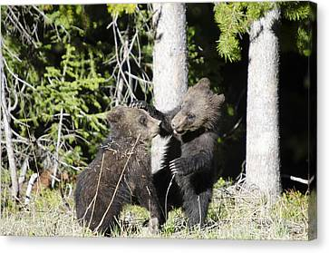 Grizzly Cubs Playing Canvas Print