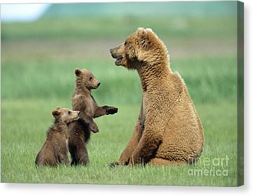 Grizzly Cubs Trying To Play With Mother Canvas Print