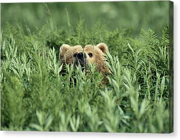 Grizzly Hidden In Ferns Near Karluk Canvas Print