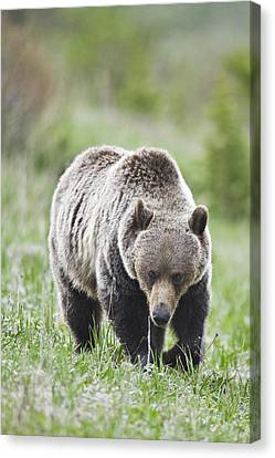 Grizzly Looking For Flowers To Eat Canvas Print