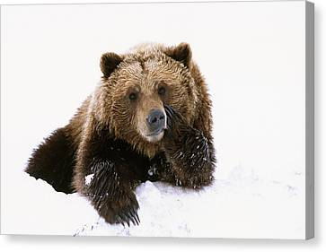 Grizzly Resting Head On Paw While Canvas Print
