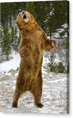 Canvas Print featuring the photograph Grizzly Standing by Jerry Fornarotto