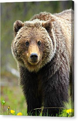 Cal Canvas Print - Grizzly by Stephen Stookey