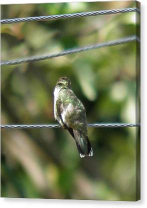 Canvas Print featuring the photograph Grooming Hummer by Nick Kirby