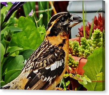 Canvas Print featuring the photograph Grosbeak Profile by VLee Watson