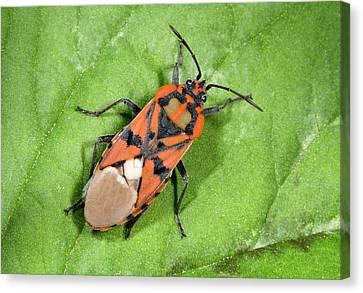 Ground Bug Lygaeus Saxatilis Canvas Print by Nigel Downer