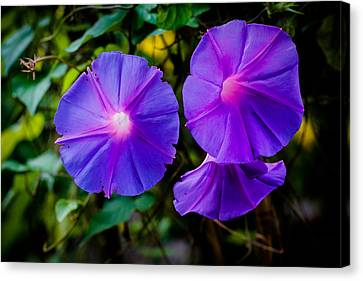 Ground Morning Glory Singapore Flower Canvas Print by Donald Chen