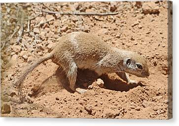 Ground Squirrel Digging A Hole In The Hot Desert Canvas Print by Tom Janca