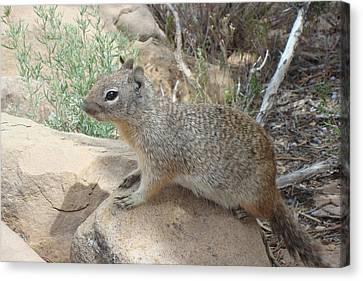 Ground Squirrel Canvas Print by Susan Woodward