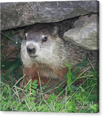 Groundhog Canvas Print - Groundhog Hiding In His Cave by John Telfer