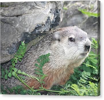 Groundhog Hiding Canvas Print by John Telfer