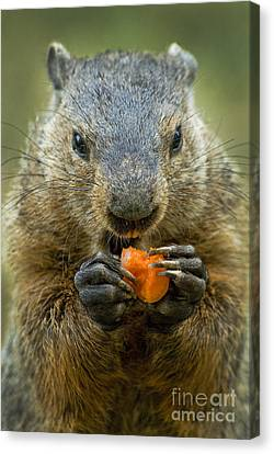 Groundhogs Favorite Snack Canvas Print by Paul W Faust -  Impressions of Light
