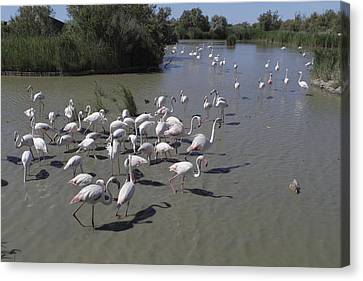 Group Flamingos In A Lake In France Canvas Print