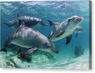 Marine Mammals Canvas Print - Group Of Bottlenose Dolphins Underwater Photograph by Brandon Cole