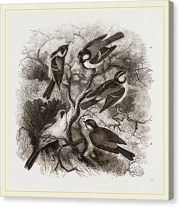 Group Of British Titmice Canvas Print by Litz Collection