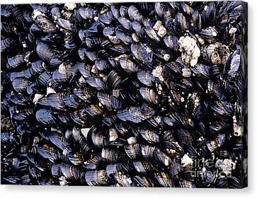 Group Of Mussels Close Up Canvas Print