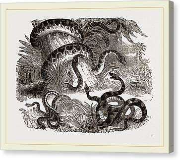 Group Of Terrestrial Snakes Canvas Print by Litz Collection