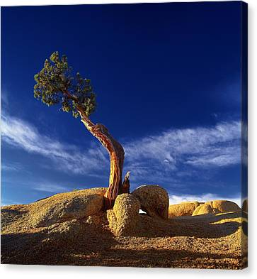 Canvas Print featuring the photograph Growing In Rock 2 by Thomas Born