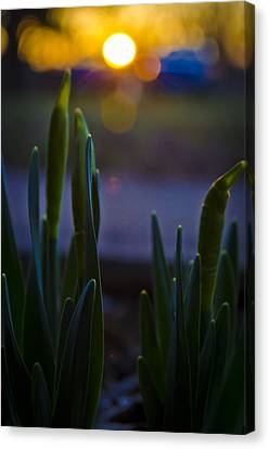 Growing In The Late Evening Sun Canvas Print