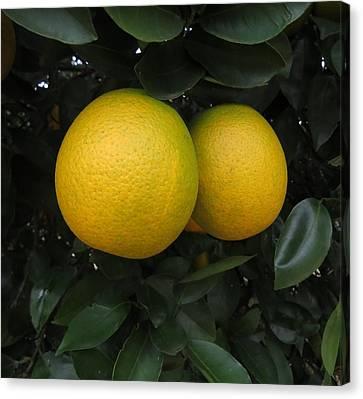Growing Oranges Canvas Print