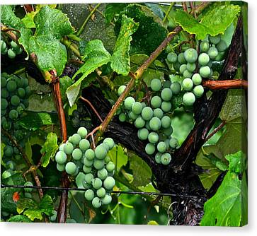 Concord Grapes Canvas Print - Growing Season by Frozen in Time Fine Art Photography