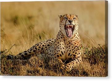 Cheetah Canvas Print - Grumpy Morning by Husain Alfraid