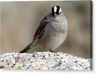 Grumpy White Crowned Sparrow Canvas Print