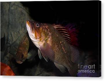 Gruper Fish 5d24129 Canvas Print