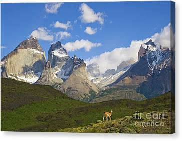 Guanaco And Cuernos Del Paine Peaks Canvas Print by Yva Momatiuk John Eastcott