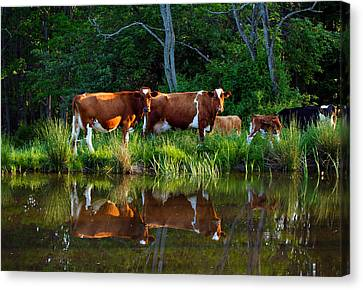 Guernsey Cows Canvas Print by David Simons