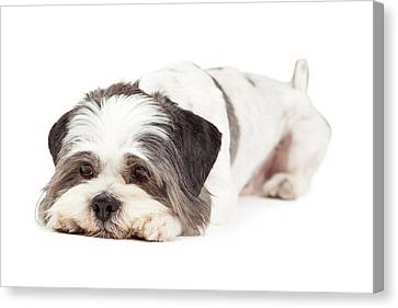 Guilty Looking Lhasa Apso Dog Laying Canvas Print
