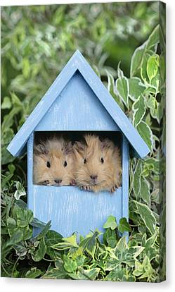 Guinea Pig In House Gp104 Canvas Print by Greg Cuddiford