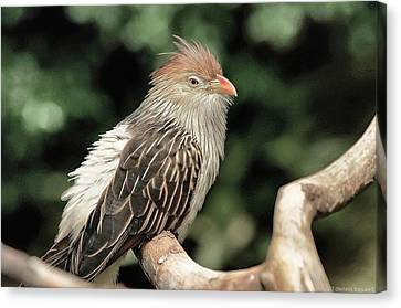 Guira Cuckoo Canvas Print by Dennis Baswell