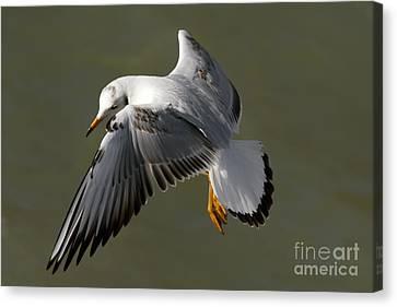 Gull In Flight Canvas Print by Maurizio Bacciarini