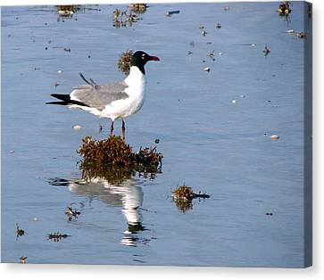 Canvas Print featuring the photograph Gull In Seaweed by Linda Cox