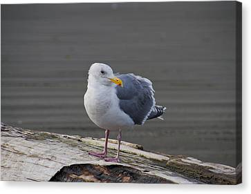 Canvas Print featuring the photograph Gull On A Log by David Stine