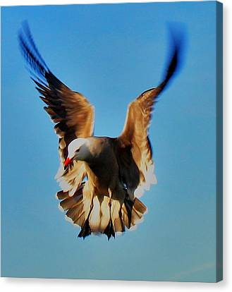 Gull Wing Canvas Print by John King