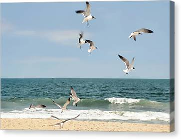 Gulls A Dance'n Canvas Print by Diana Angstadt
