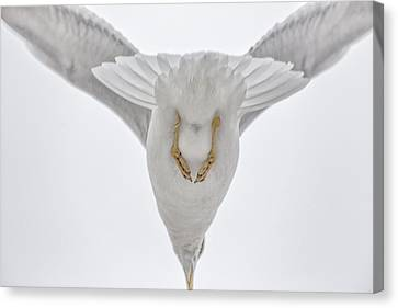 Gulls Flight Canvas Print by Karol Livote