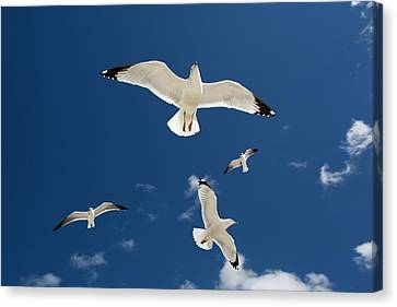 Gulls Flying Against Blue Sky Canvas Print by Jim West