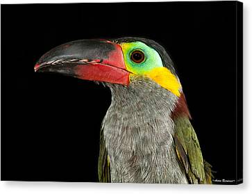 Canvas Print featuring the photograph Guyana Toucanette by Avian Resources