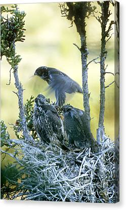 Gyrfalcon Learning To Fly Canvas Print