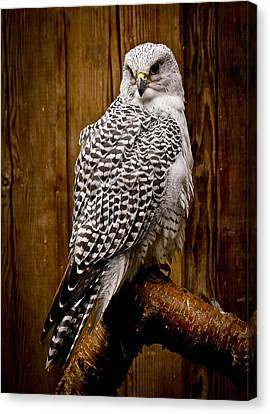 Gyrfalcon Perched Canvas Print by Steve McKinzie